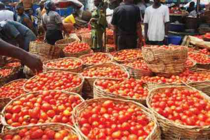 tomatoes-for-dangote-processing_2