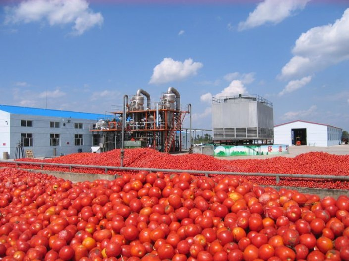 tomatoes-for-dangote-processing_3